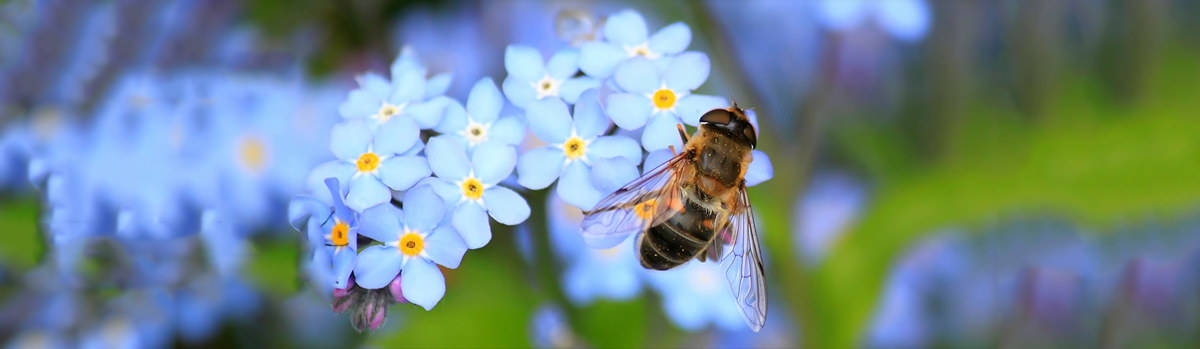 texas-forget-me-not-bee