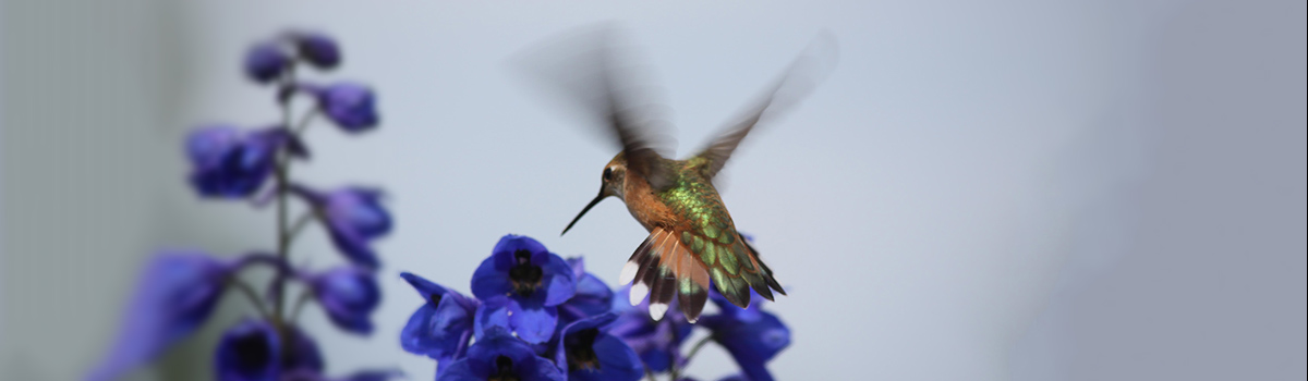 texas-hummingbird-wildflower